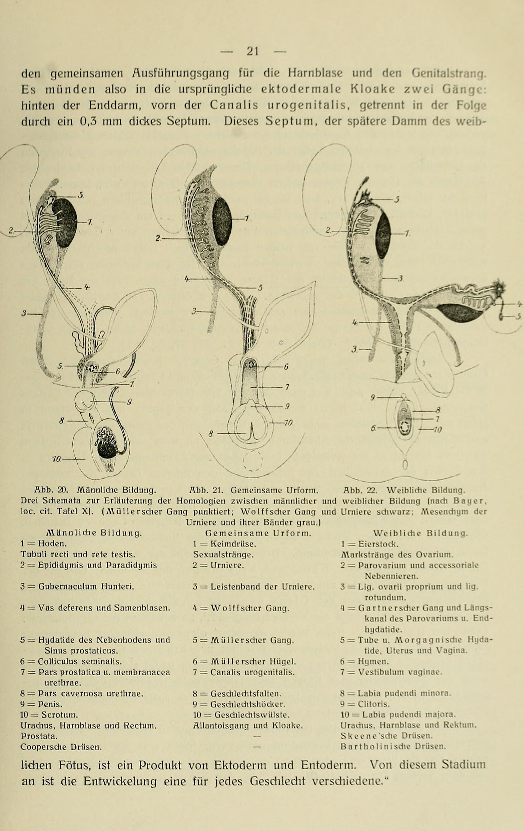 Der Buchausschnitt zeigt wissenschaftliche Beschreibungen zur Entwicklung des männlichen und weiblichen Geschlechts, sowie deren gemeinsamen Urform.